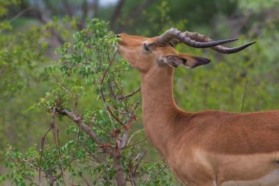 Kruger NP, Sud Africa